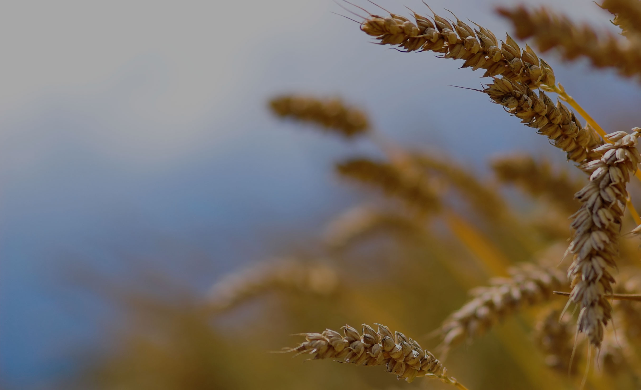 iStock_000003825445Mediumwheat