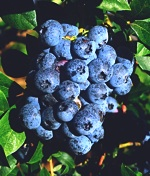 nutrient-density-blueberry