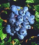 nutrient-density-blueberry