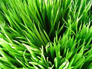 wheatgrass1timo.jpg