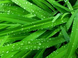 wheatgrass2timo.jpg