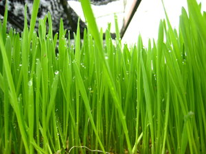 wheatgrass3timo.jpg
